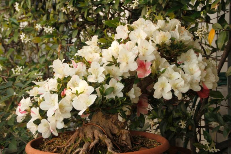 fioriture azalee 2012 _mg_2918