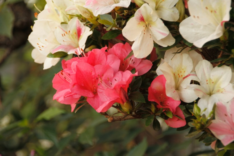 fioriture azalee 2012 _mg_3015