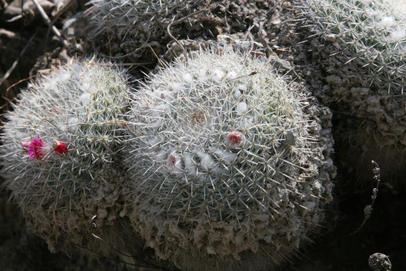 Mammillaria saetigera Img_5611