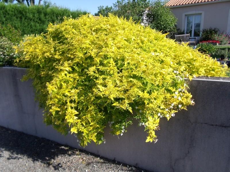 Jasminum beesianum Dscf1410