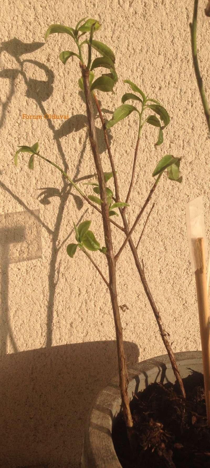 Culture ethnobotanique en France : Thé - Théier Wulong- Camellia Sinensis - Tie Guan Yin Pot10