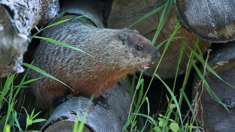 Une autre marmotte Marmot10