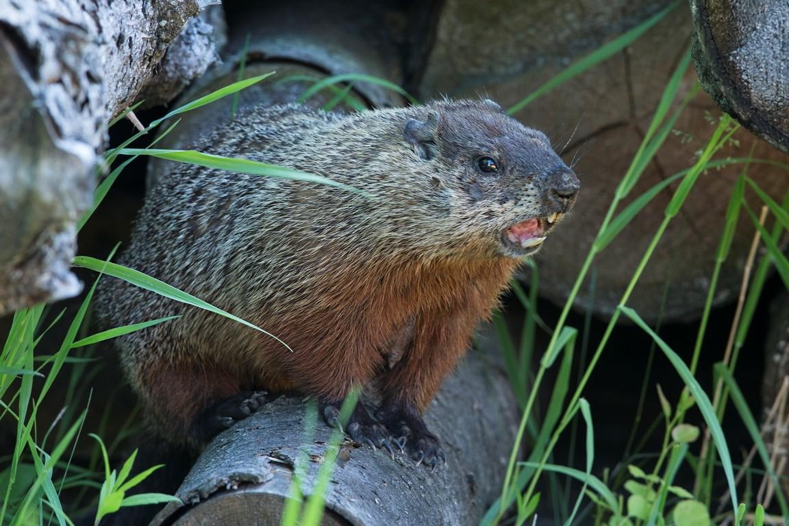 Une autre marmotte Marmot11