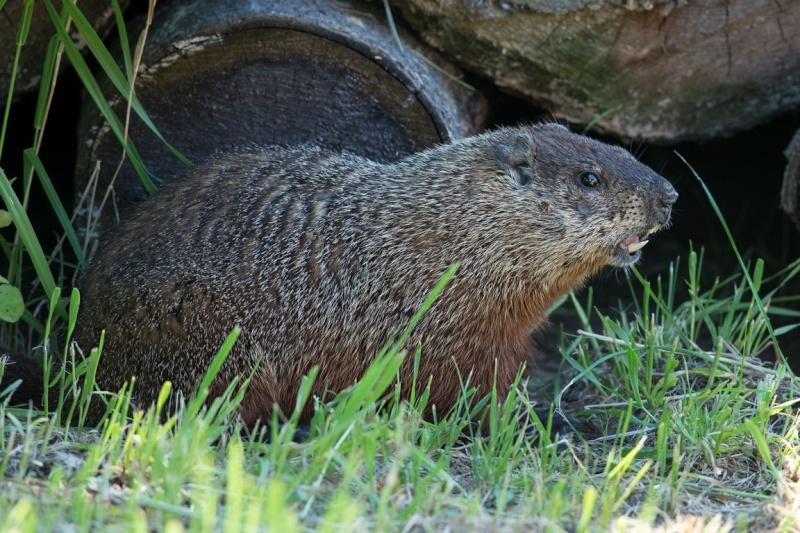 Une autre marmotte Marmot12