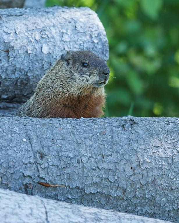 Une autre marmotte Marmot13