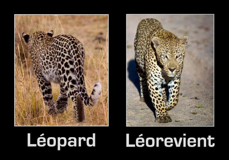 Grands fauves Leo0110