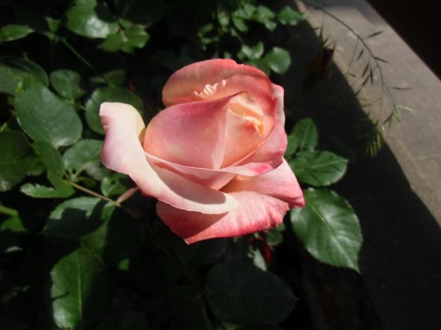 mes roses (enfin quelques unes ) Cimg0510