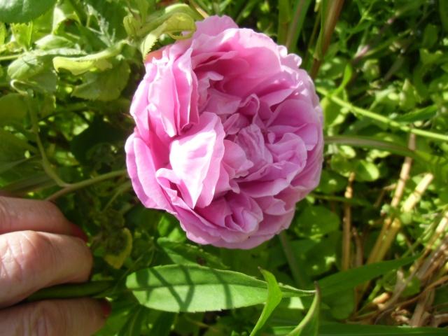 mes roses (enfin quelques unes ) Cimg0511