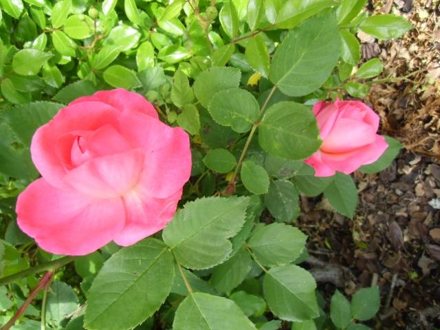 mes roses (enfin quelques unes ) Cimg0610
