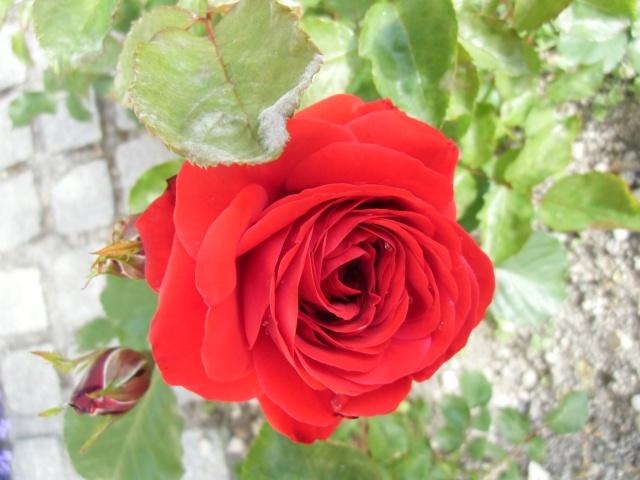 mes roses (enfin quelques unes ) Cimg0611