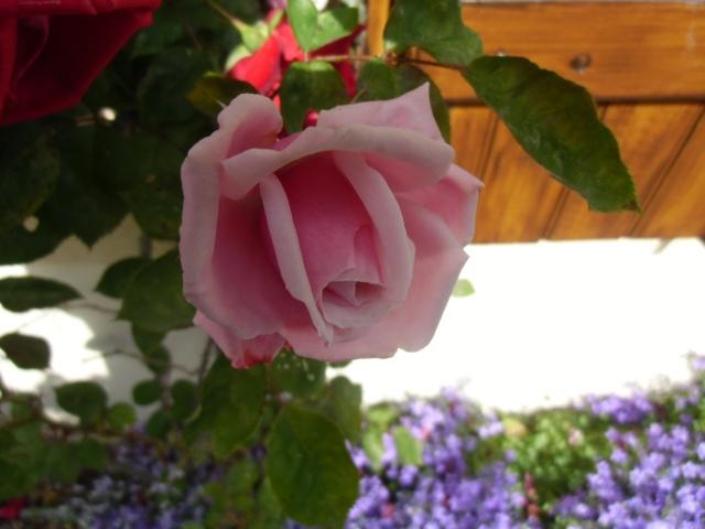 mes roses (enfin quelques unes ) Cimg0612