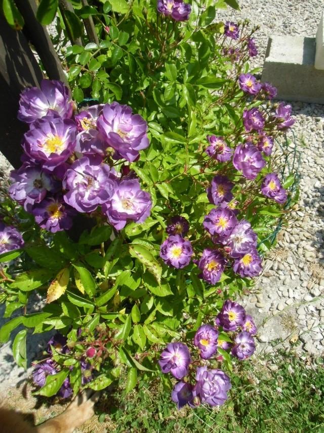 mes roses (enfin quelques unes ) Cimg0613