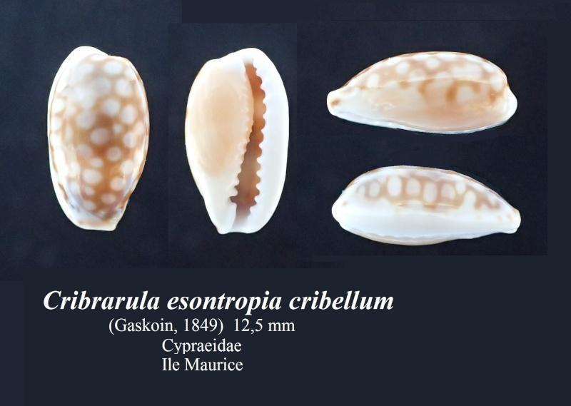 Cribrarula esontropia cribellum - (Gaskoin, 1849) - Page 2 Cribra10