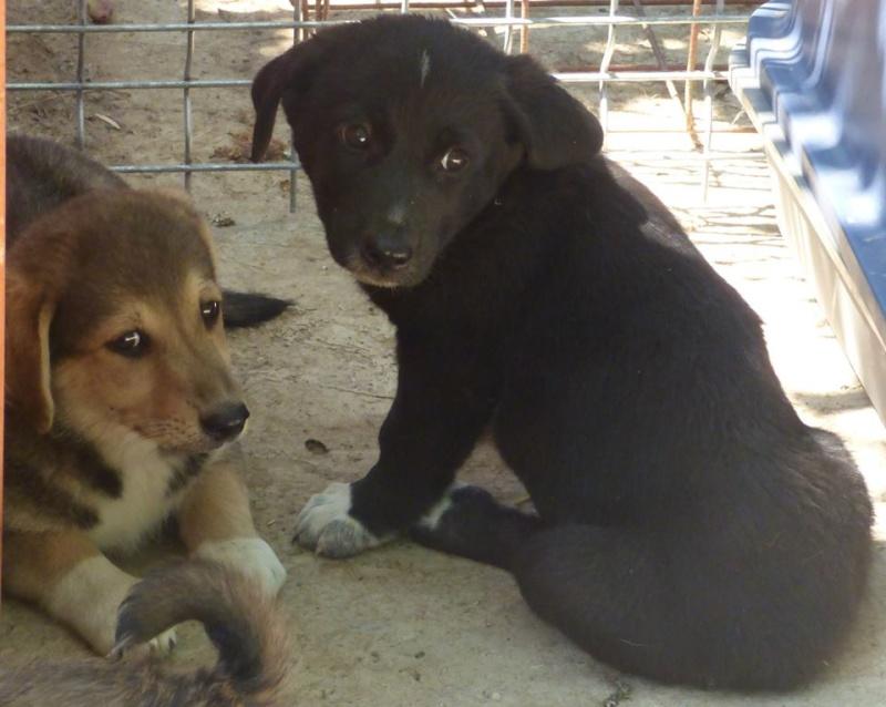 RED2, chiot femelle, née en mai 2015 (Pascani) - en pension chez Lucian 11178311