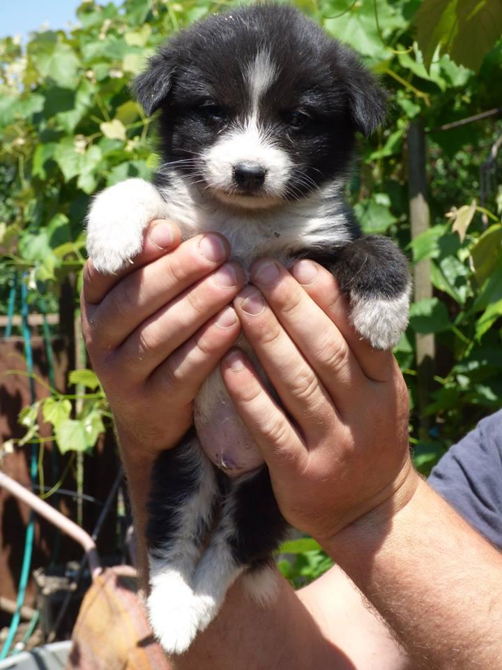 TIKKI, chiot mâle, né mi avril 2015 (Pascani) - en pension chez Lucian 11229210