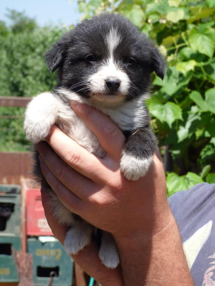 TIKKI, chiot mâle, né mi avril 2015 (Pascani) - en pension chez Lucian 11391311