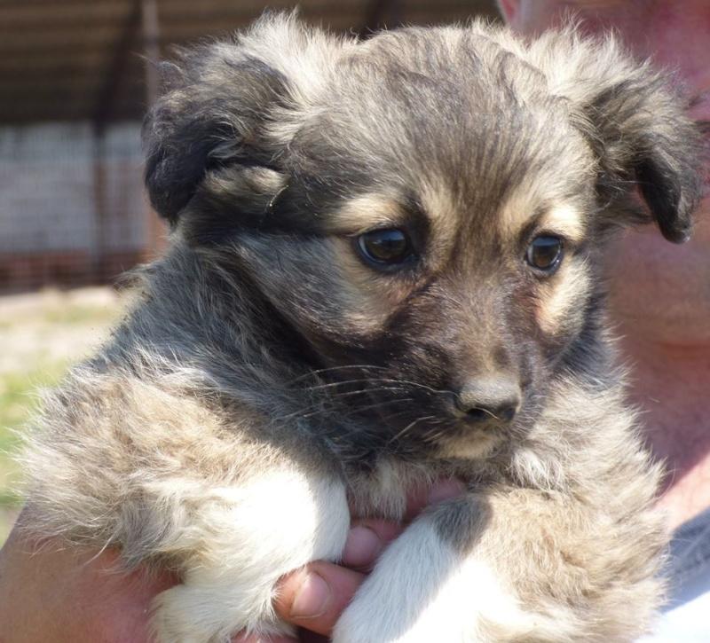 PRALINE, chiot femelle, né en avril 2015 (Pascani) - en pension chez Lucian 11391510