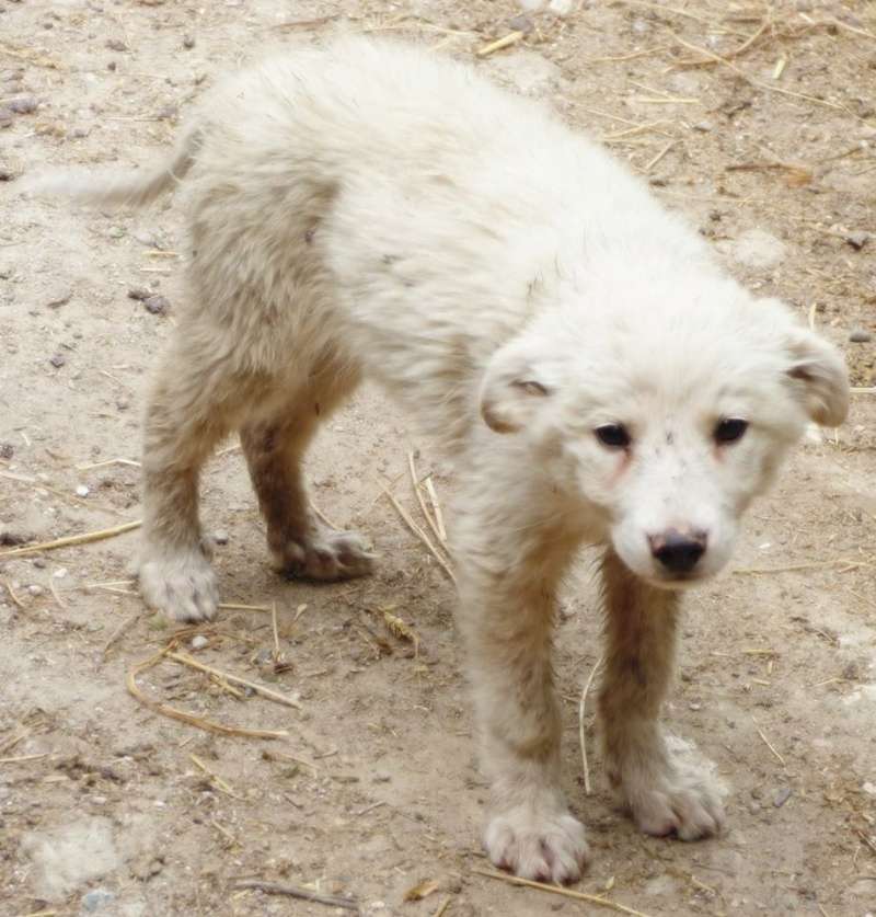 PHEBUS - chiot mâle, croisé samoyède, né en mars 2015 - en pension chez Lucian 11745812