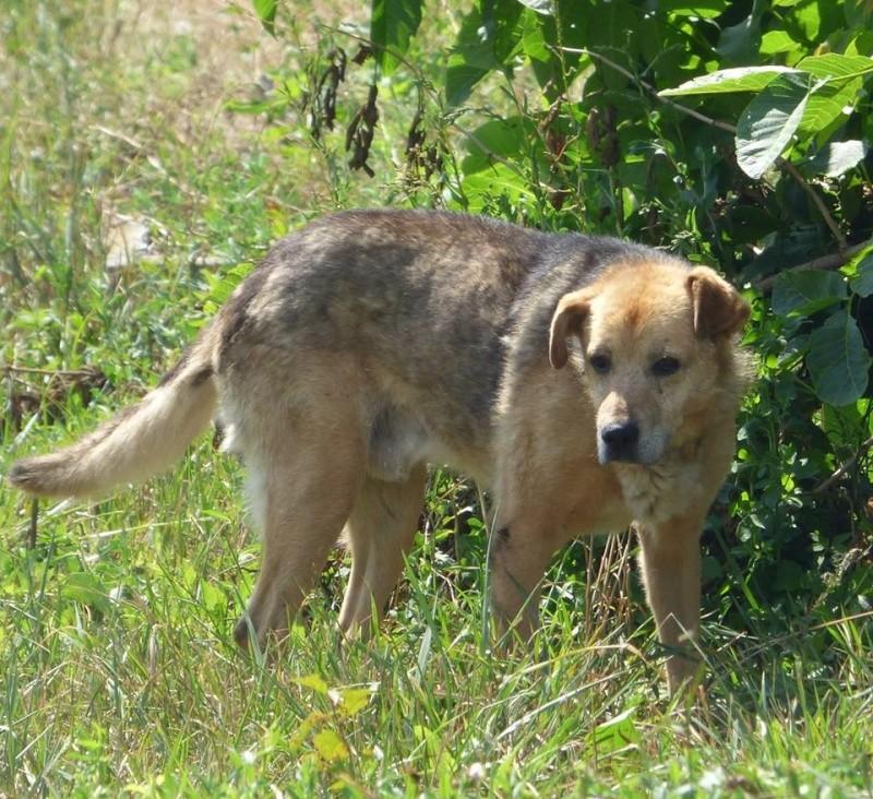 SIMBA, mâle âgé croisé berger taille moyenne né env 2005 (PASCANI)-En fourrière - Page 2 11811310