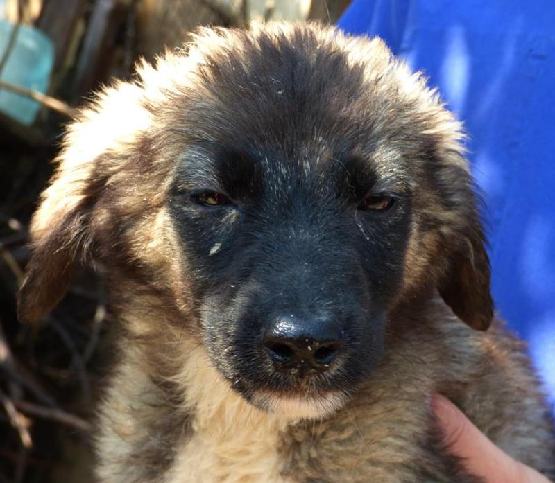 Stitch - STITCH - mâle, croisé berger né en août 2015 - adopté par Claire et Franck (67) 11813214
