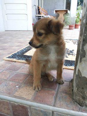 EARL GREY, chiot femelle, née en mars 2015 (Pascani) - adoptée par Carine (73) 11825010