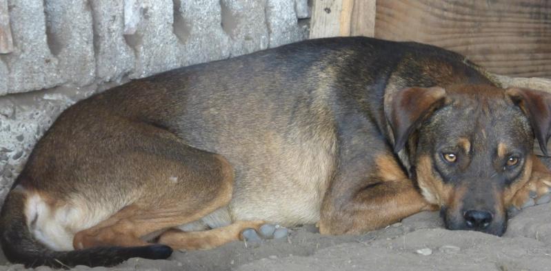 OSCAR - mâle, né environ avril 2012, taille moyenne - En FA chez DarkKing (42) replacé en FA chez Sylvie (02)  11888510