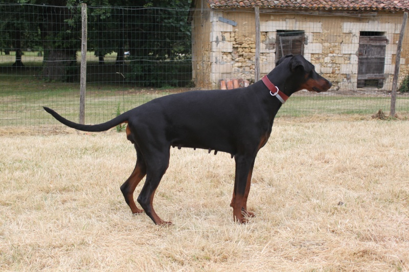 Saillie 2015 Bolcanstern Dobermann - Page 2 Img_7013