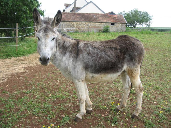 ROMEO - ONC Âne né en 2009 - adopté en septembre 2011 Romyo_15