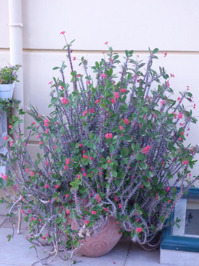 Euphorbia milii ou Epine du Christ - Page 2 P1010710