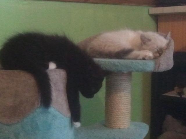 Loki et Làska, frère et sœur Sieste10