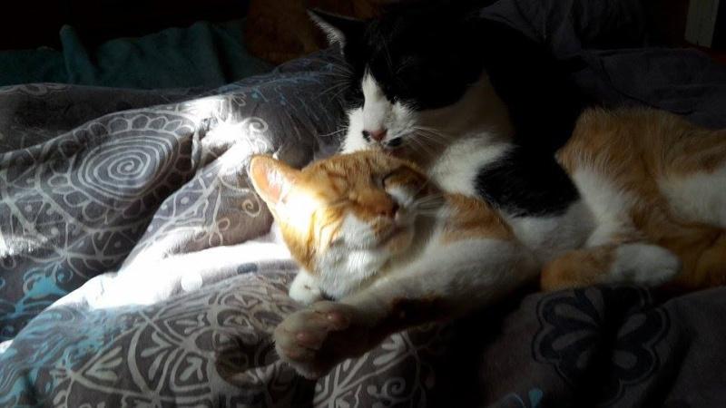 Pitch, le chaton parfait, roux et blanc, né mi-mars 2014 - réservé 11267810