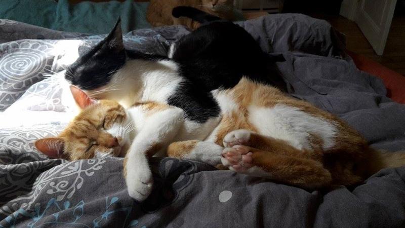 Pitch, le chaton parfait, roux et blanc, né mi-mars 2014 - réservé 11426510