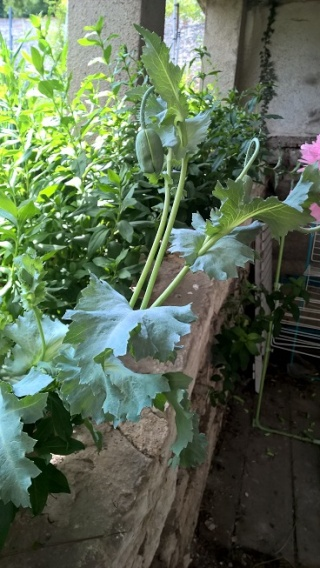 Quelle est cette plante a fleur rose ? Wp_20116
