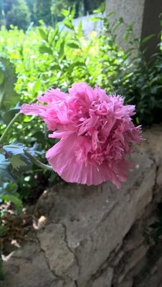 Quelle est cette plante a fleur rose ? Wp_20117