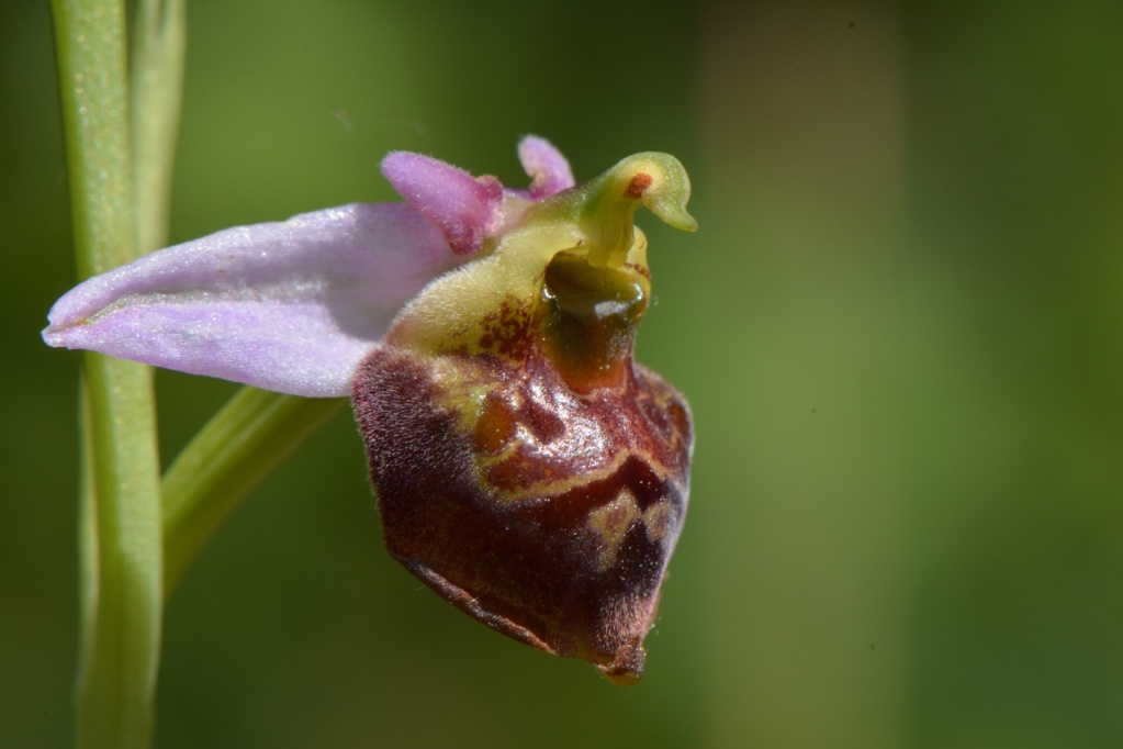 Ophrys Fuciflora 17710