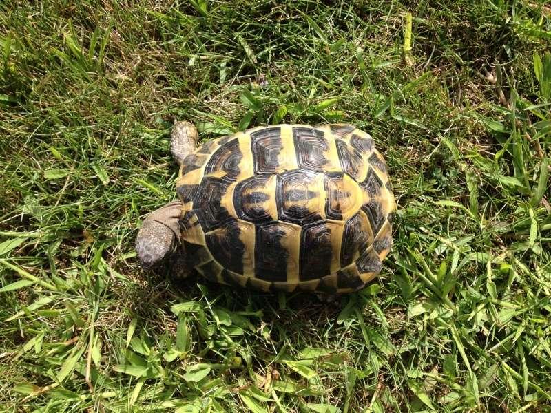 Identification tortue trouvée 18081510