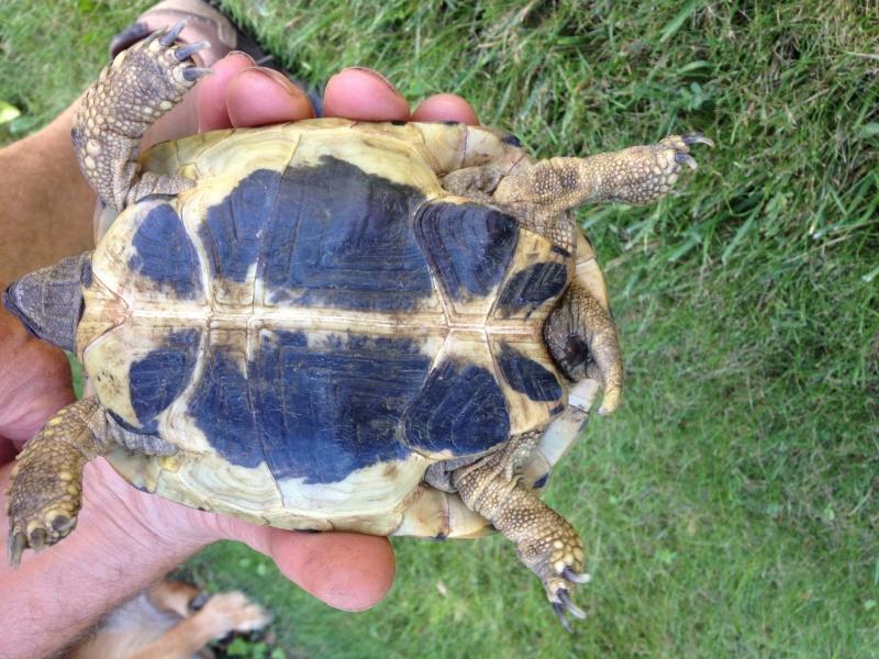 Identification tortue trouvée 18081511