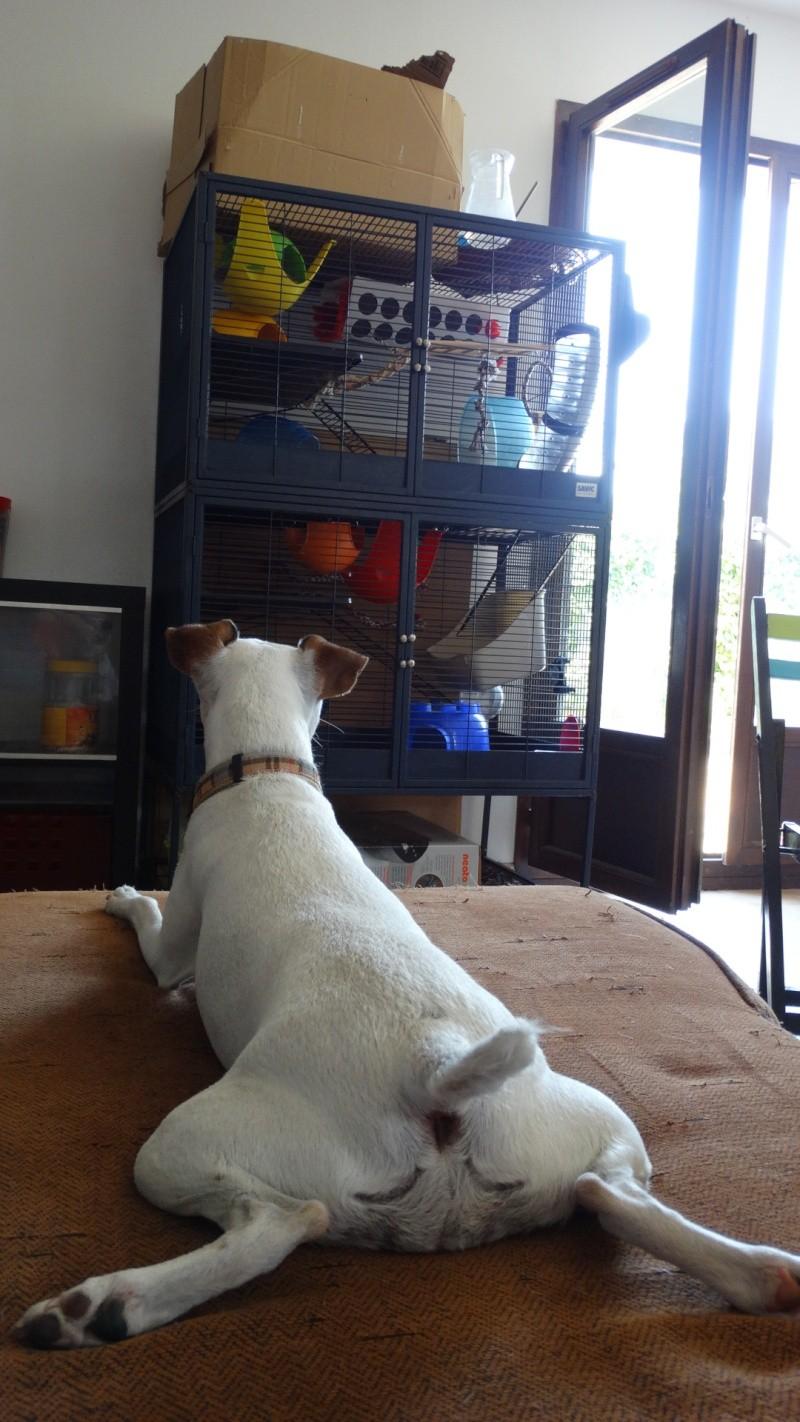 Le Parson Russell Terrier Dsc05710