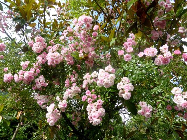 rosier 'La Fraîcheur' 12-06-14