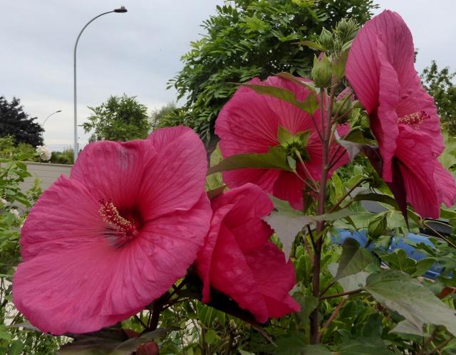 Hibiscus des marais rustiques - sujet général - Page 5 18-08-11