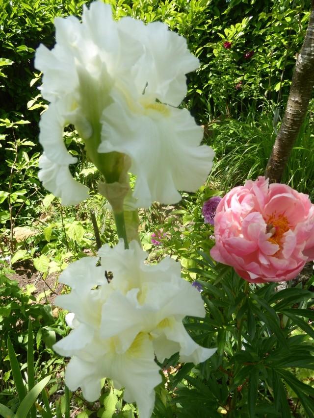 massifs en blanc - fleurs et feuillages : belles associations  28-05-10