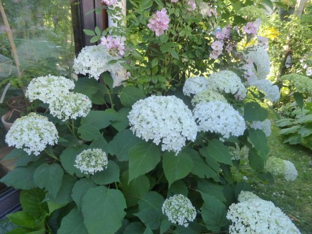 massifs en blanc - fleurs et feuillages : belles associations  28-06-11