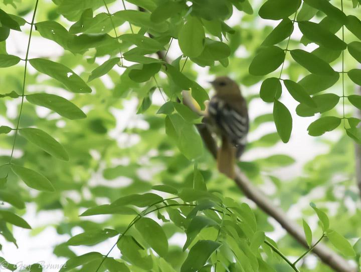 Deux photos pour un oiseau 5bru0312