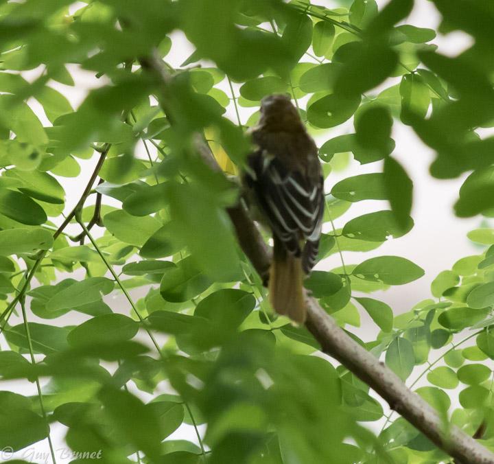 Deux photos pour un oiseau 5bru0313