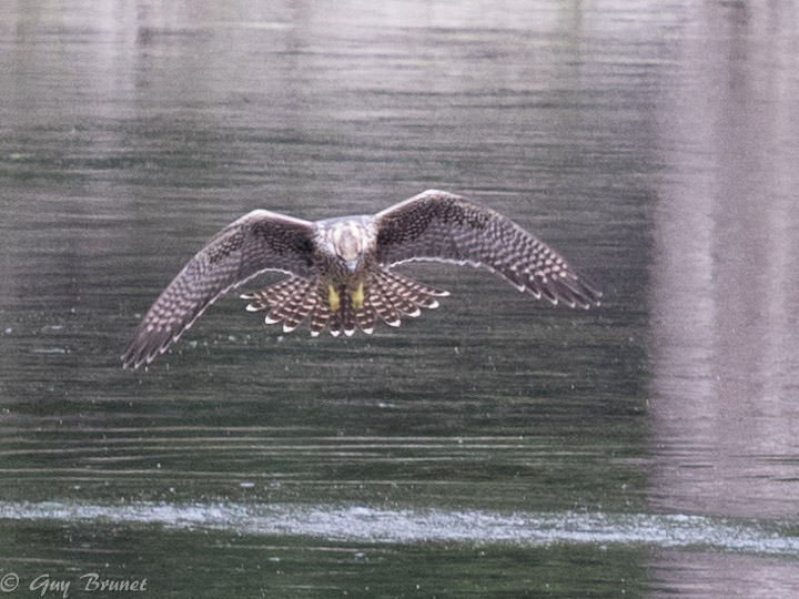 Quelle espèce de faucon, s.v.p.? 5bru0710