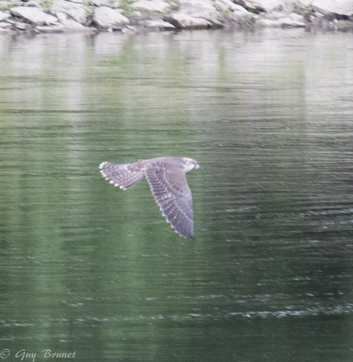 Quelle espèce de faucon, s.v.p.? 5bru0810