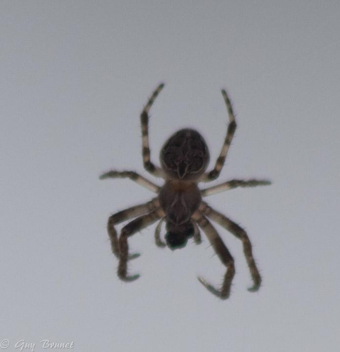 Insecte (?) et araignée: ID s.v.p. 5bru1711