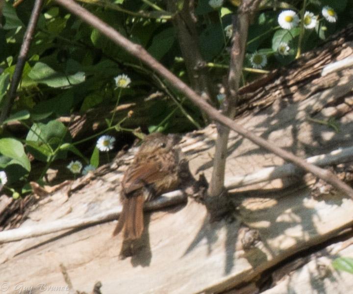 Deux oiseaux à identifier s.v.p. 5bru8711