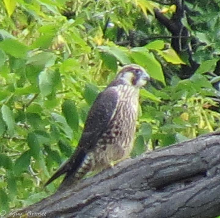 Quelle espèce de faucon, s.v.p.? Img_8310