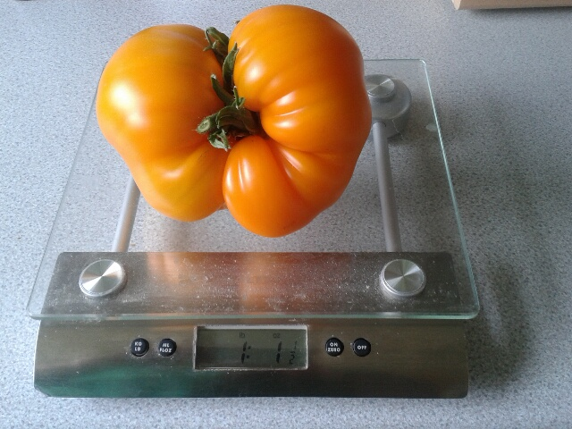 Tomato growing systems - Page 2 20150611